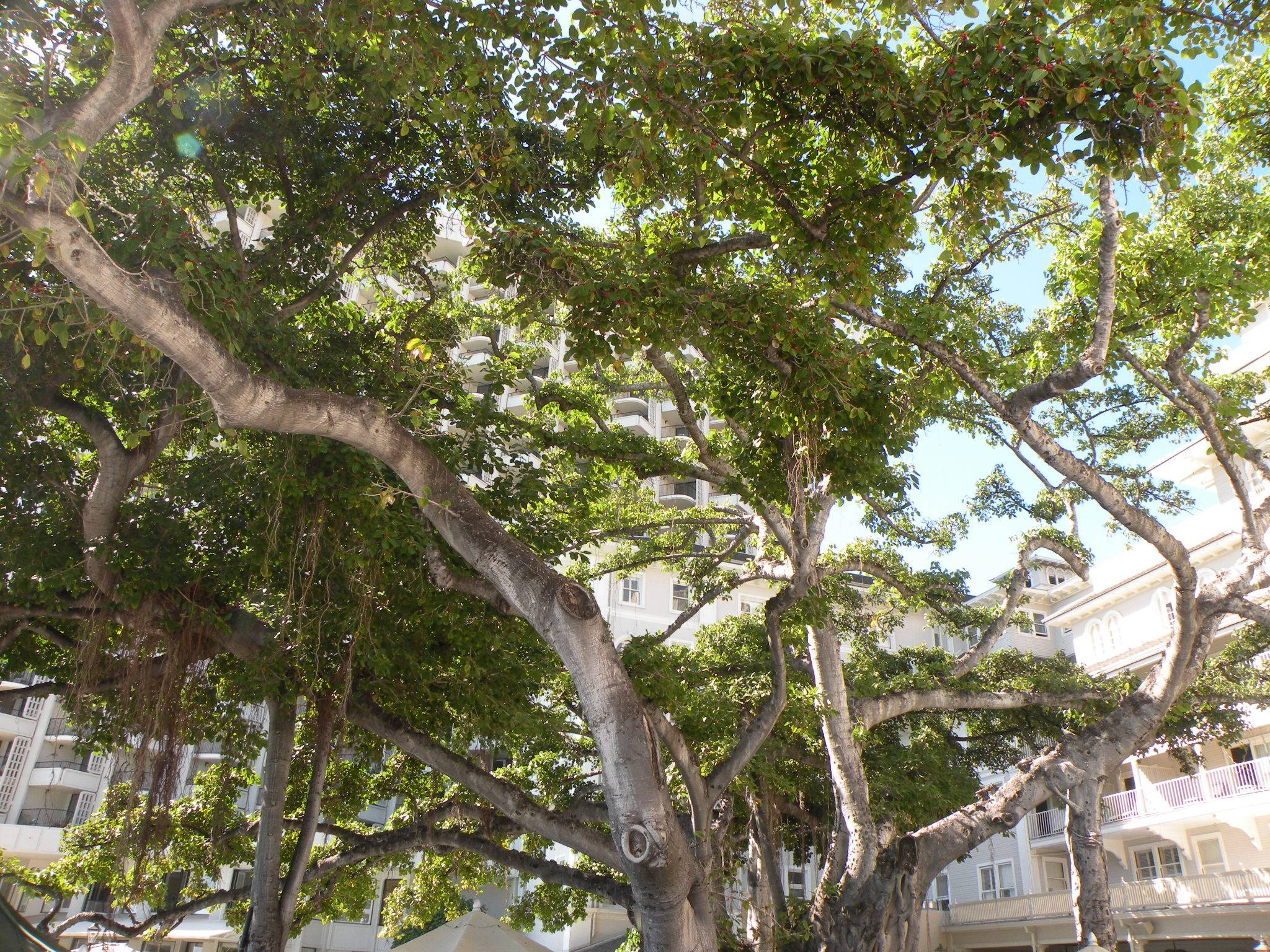 Historic Banyan Trees at the Moana