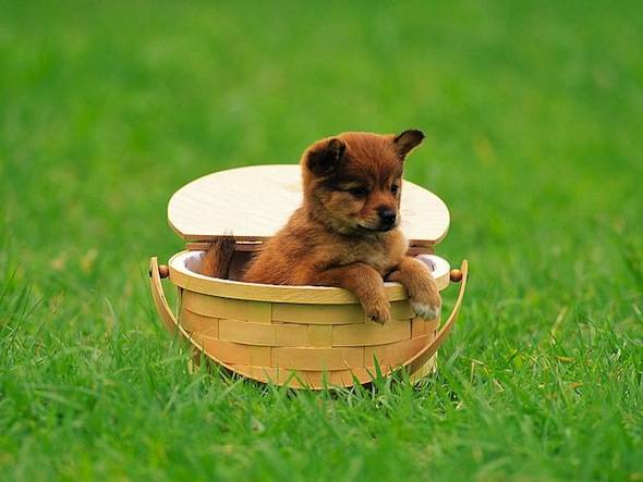 Puppy-in-basket