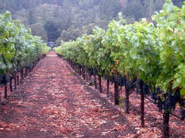california-grapes-sonoma