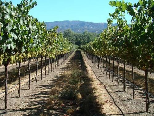 Beckstoffer-VineyardsVines