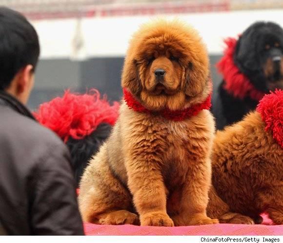 red-tibetan-mastiff580-1300291494