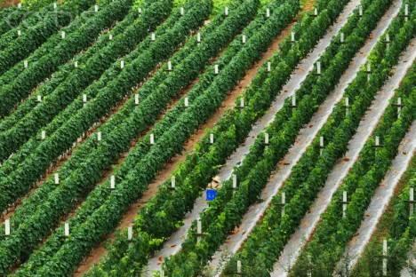 vineyard-Yunnan-province-468×312