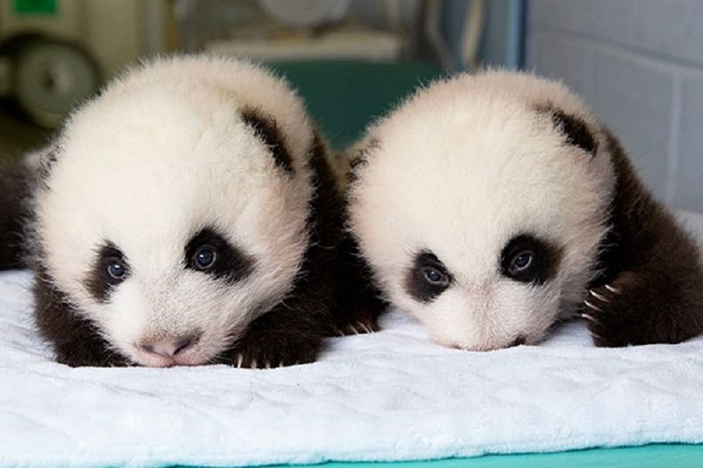 TW_Sept-25_panda_cubs2013_130924_cub_b_a_table_ZA_6738_600