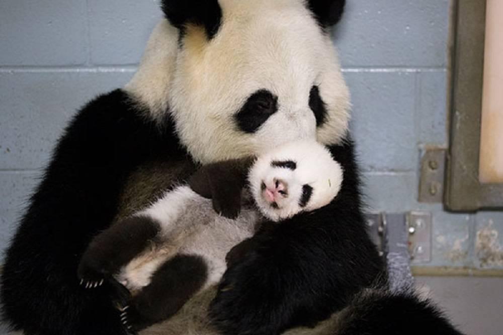 TW_Sept-25_panda_cubs2013_130924_lunlun_cub_b_ZA_6670_600