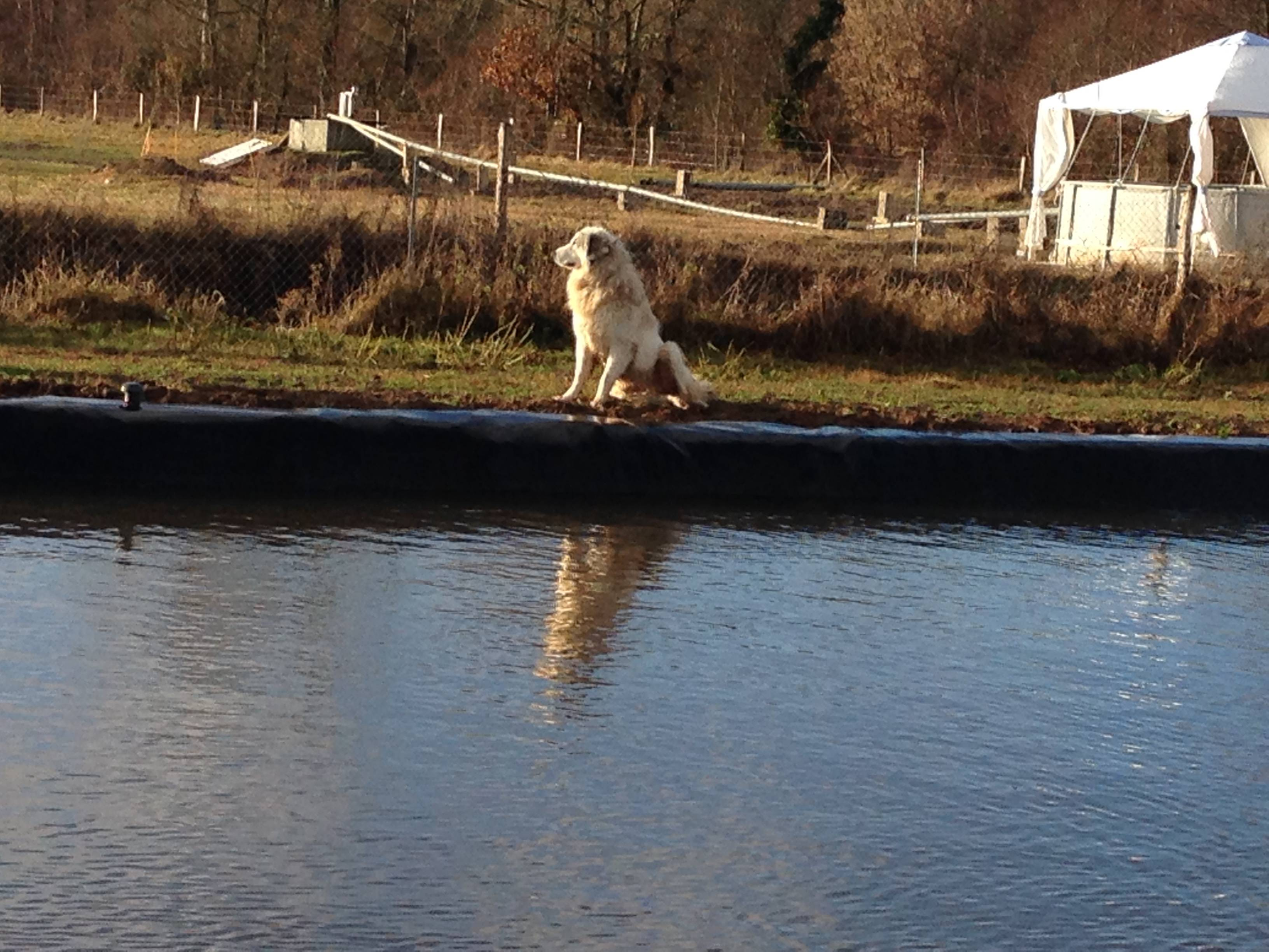 Ginger the resident Great Pyrenees Dog