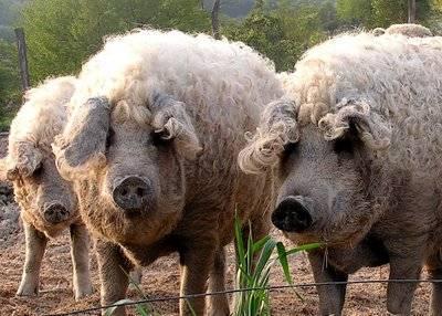 Mangalitsa+pigs