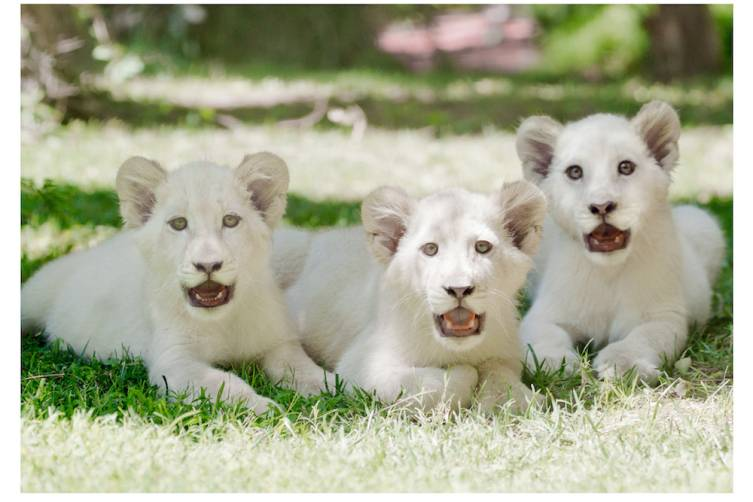 The Mirage welcomes three new lion cubs, Madiba (L), Freedom (C) and Timba-Masai (R), to Siegfried & Roy's Secret Garden and Dolphin Habitat. Credit - Siegfried & Roy