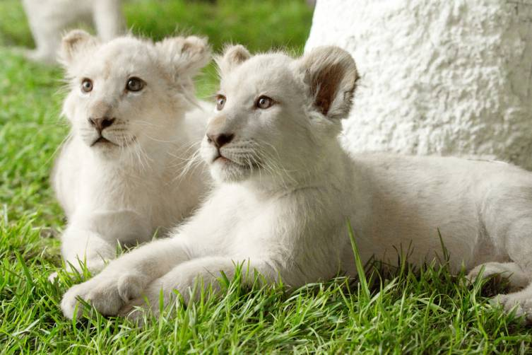 Timba-Masai (L) and Freedom (R) rest under a tree at Siegfried & Roy's Secret Garden at The Mirage. Credit - Siegfried & Roy