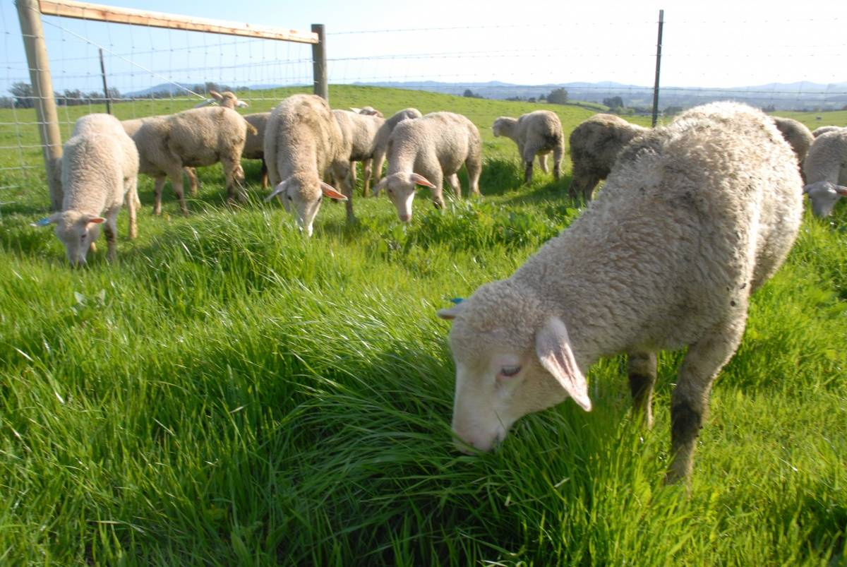 Sheep credit Derrick Story