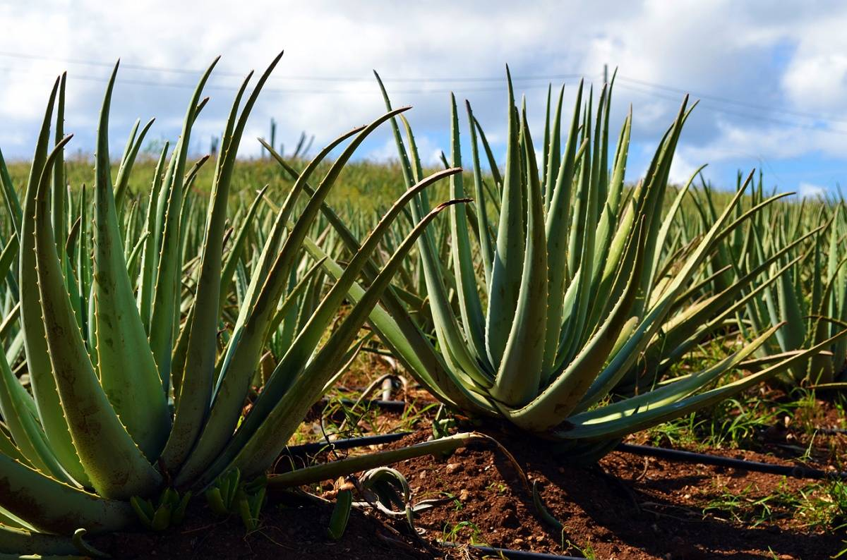 Aloe Plantation Curacao – K. Tablang