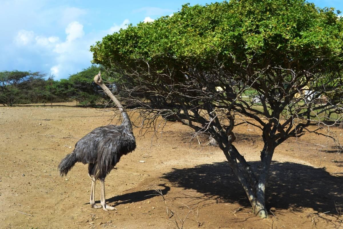 Ostrich Farm Curacao –K. Tablang