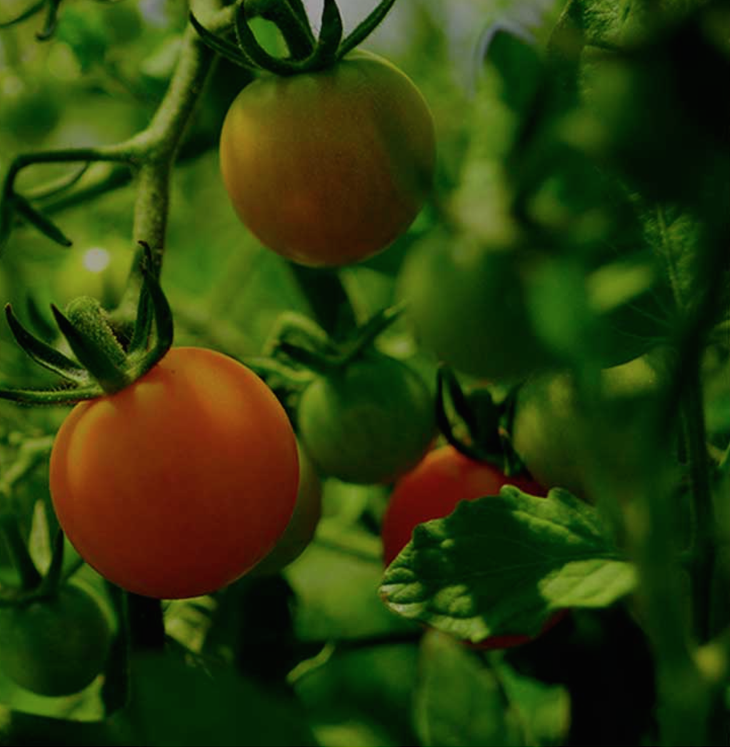 Tomatoes survived bitterness, superstition and a Supreme Court mandate to become a favored food worldwide.