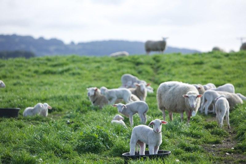 Sheep-bucket-credit-Derrick-Story