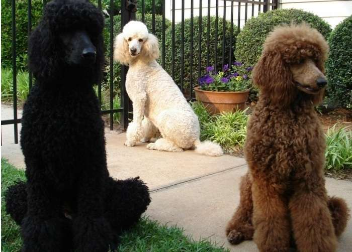 Standard Poodles are the most regal