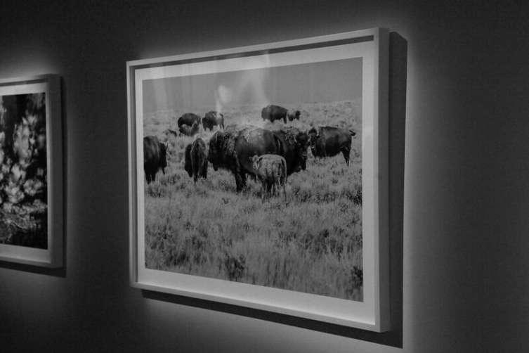 Herd, American Prairie Reserve, Montana by Michael Jurick