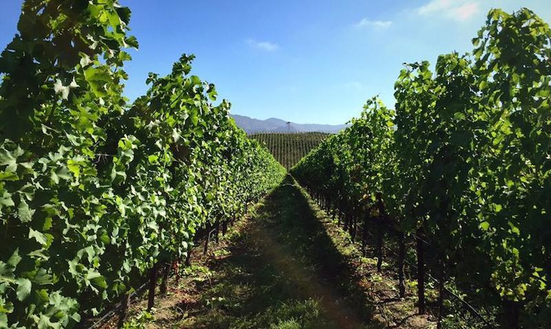 The To Kalon vineyard at Robert Mondavi Winery