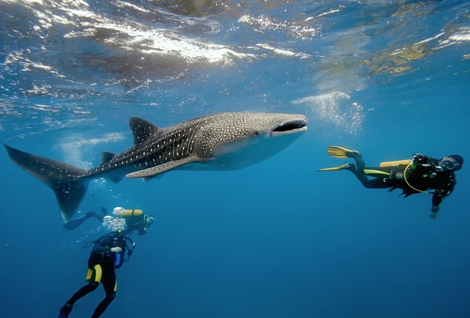 The Yucatán is the world's top destinations ahead of Mozambique and the Philippines for whale shark diving in late summer.