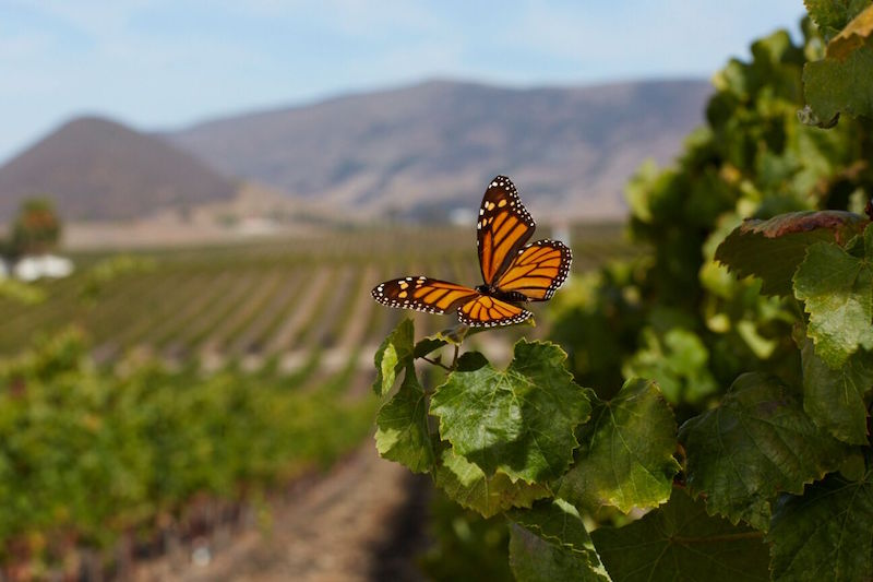 A monarch butterfly migrates through the vineyard