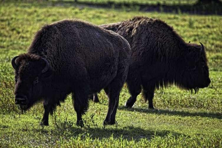 Grazing Buffalo at the River Ranch