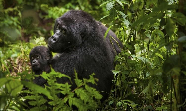 Mountain gorilla and juvenile Volcanoes National Park Rwanda Volcanoes National Park Rwanda