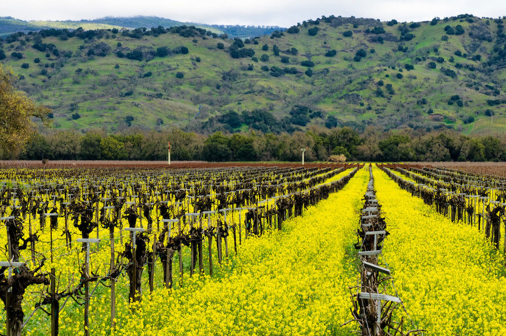 It's mustard season in Napa