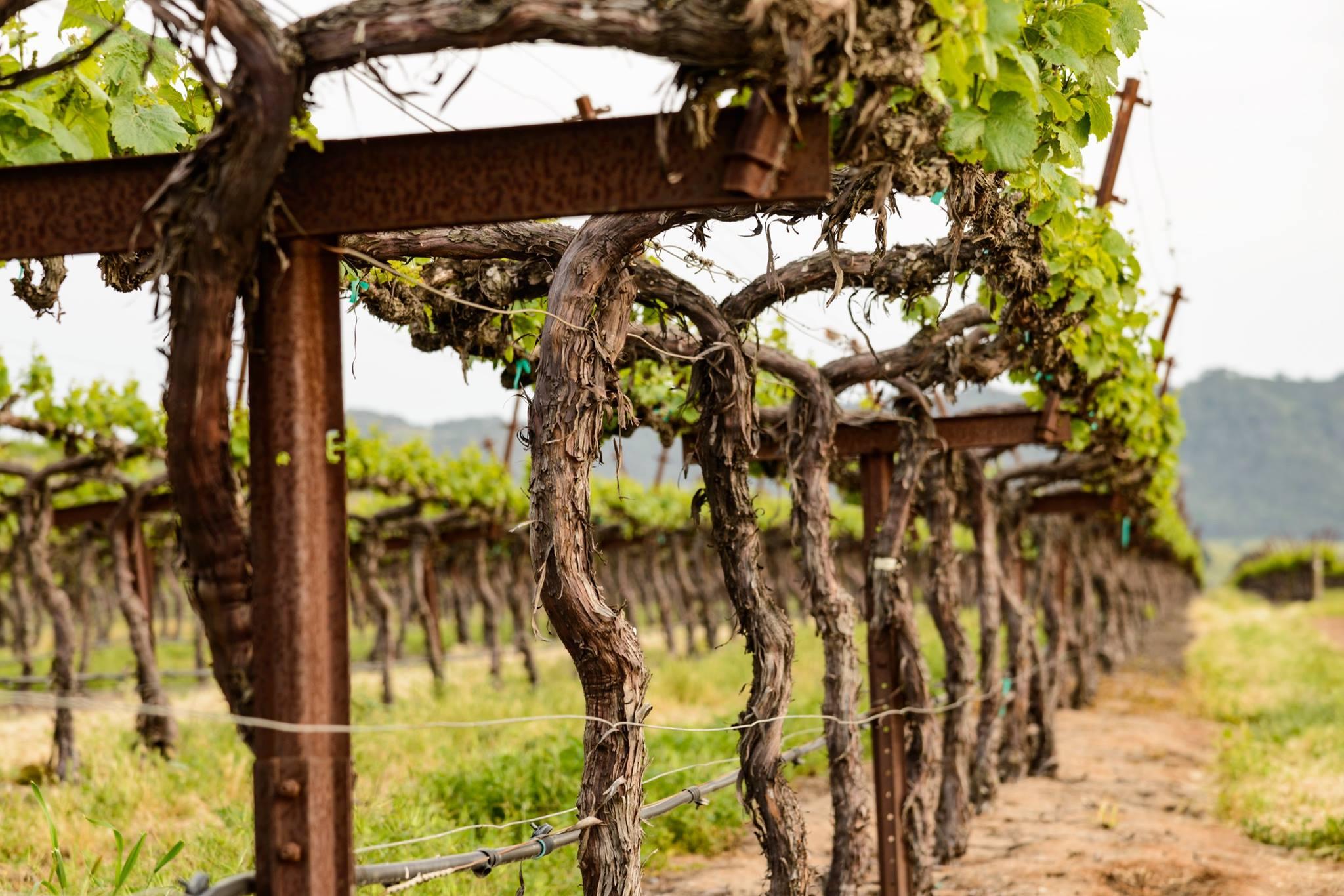 Tolosa's vineyards