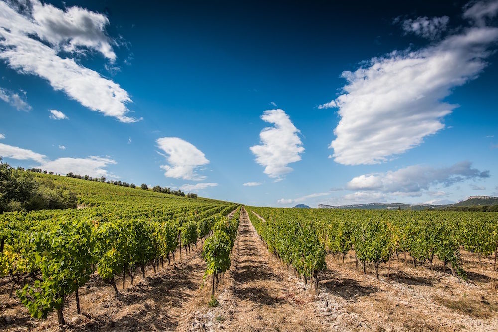 A vineyard in the Languedoc region of Southern France