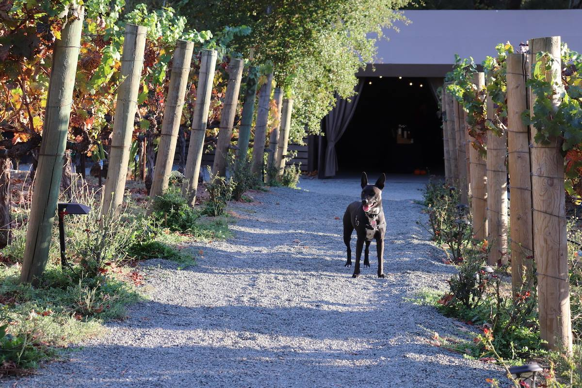 A dog in the ranch's vineyard